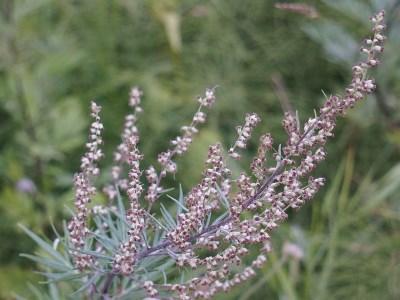 Pollenflug Beifuss