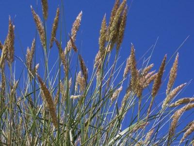Pollenflug Gräser