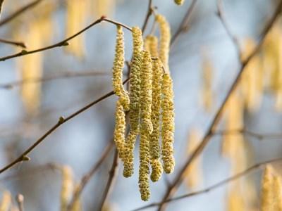 Pollenflug Hasel